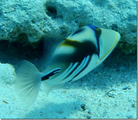 PicassoTriggerfish