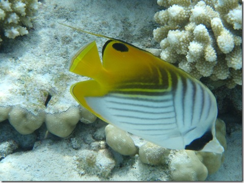 ThreadfinButterflyfish